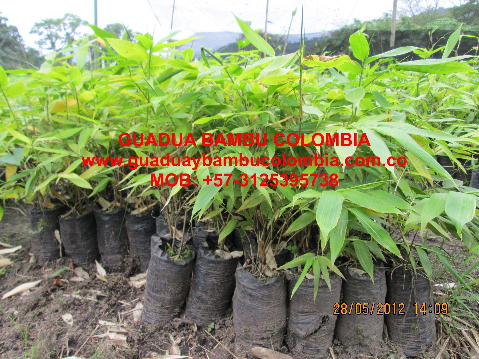 301 moved permanently - Reproduccion del bambu ...