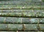 guadua bambu1